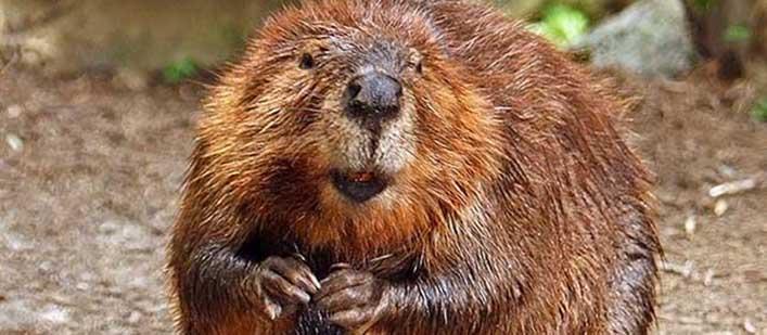 American-Beaver