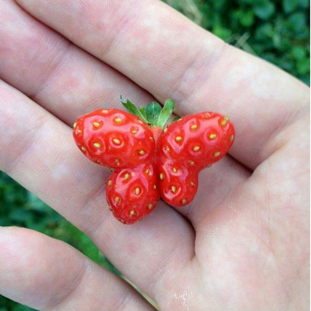 Butterfly-shaped-strawberry