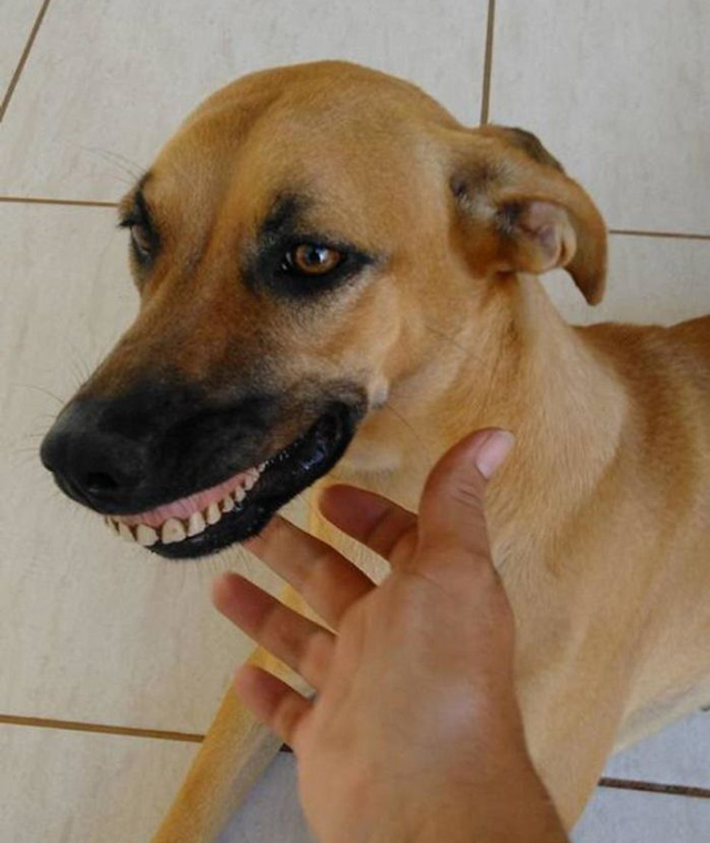 Dog-wearing-dentures-1